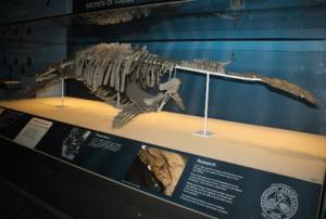 Pachycostasaurus dawnii